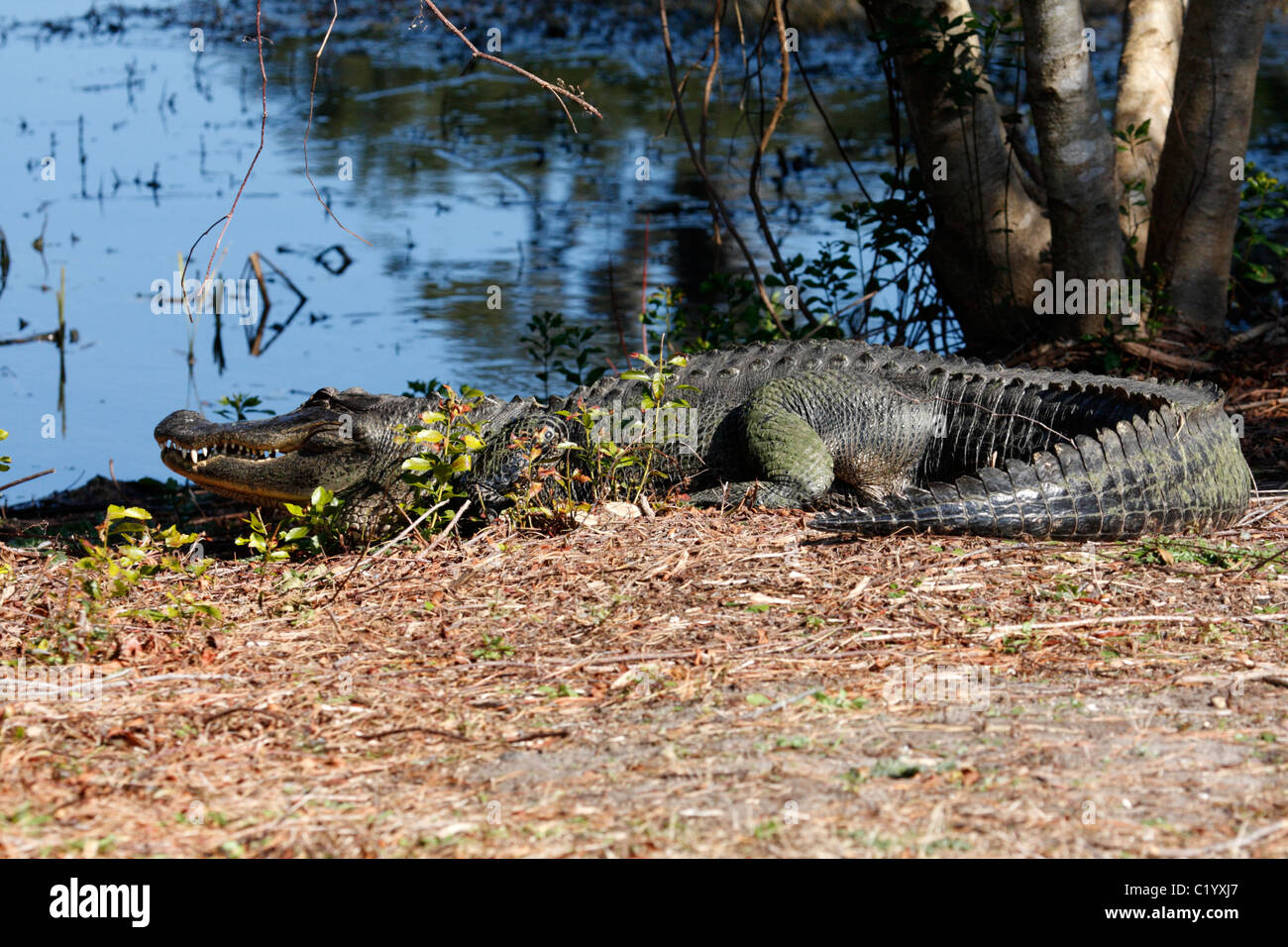 American alligator (Alligator mississippiensis) Stock Photo