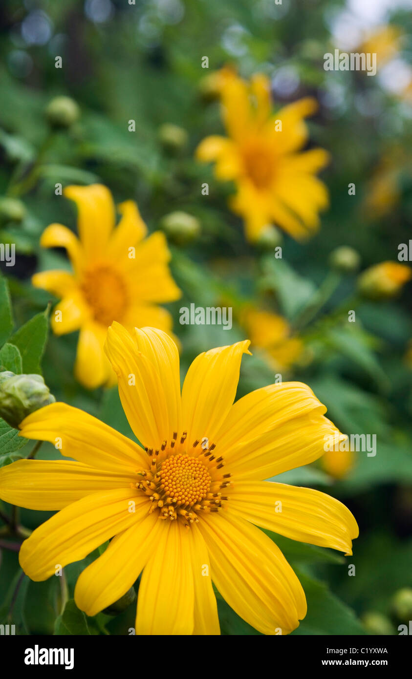 Wild sunflowers on the slopes of Khun Yuam during the Bua Tong Bloom Festival in November. Khun Yuam, Mae Hong Son, - Stock Image