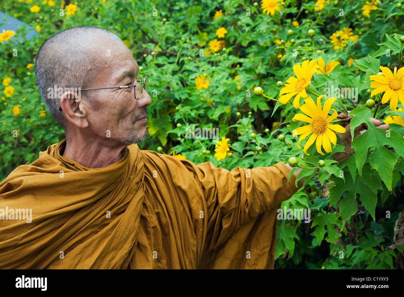 A monk looks at wild sunflowers during the Bua Tong Bloom Festival. Khun Yuam, Mae Hong Song province, THAILAND. - Stock Image