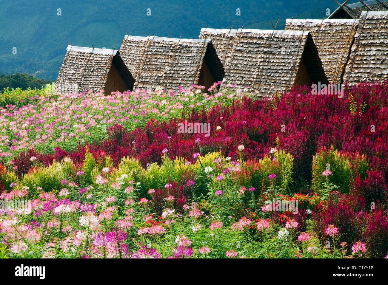 Wildflowers in bloom on the hillslopes of Khun Yuam, Mae Hong Son province, THAILAND. - Stock Image