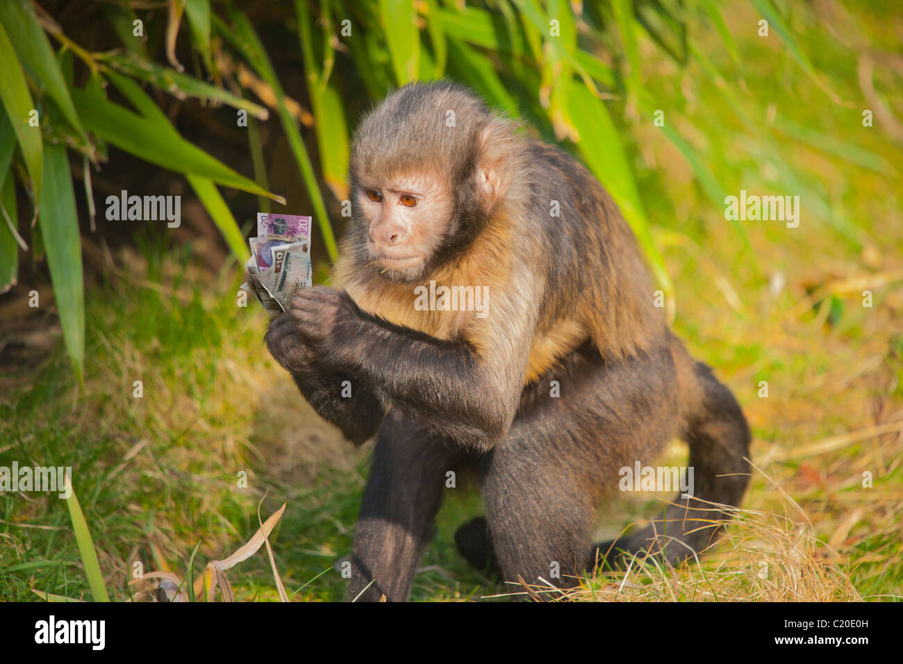 Financial concept, humour, monkey cash - Stock Image
