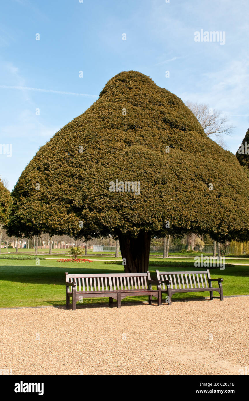 Two benches and a yew tree in Hampton Court Palace grounds, Surrey, England, UK - Stock Image