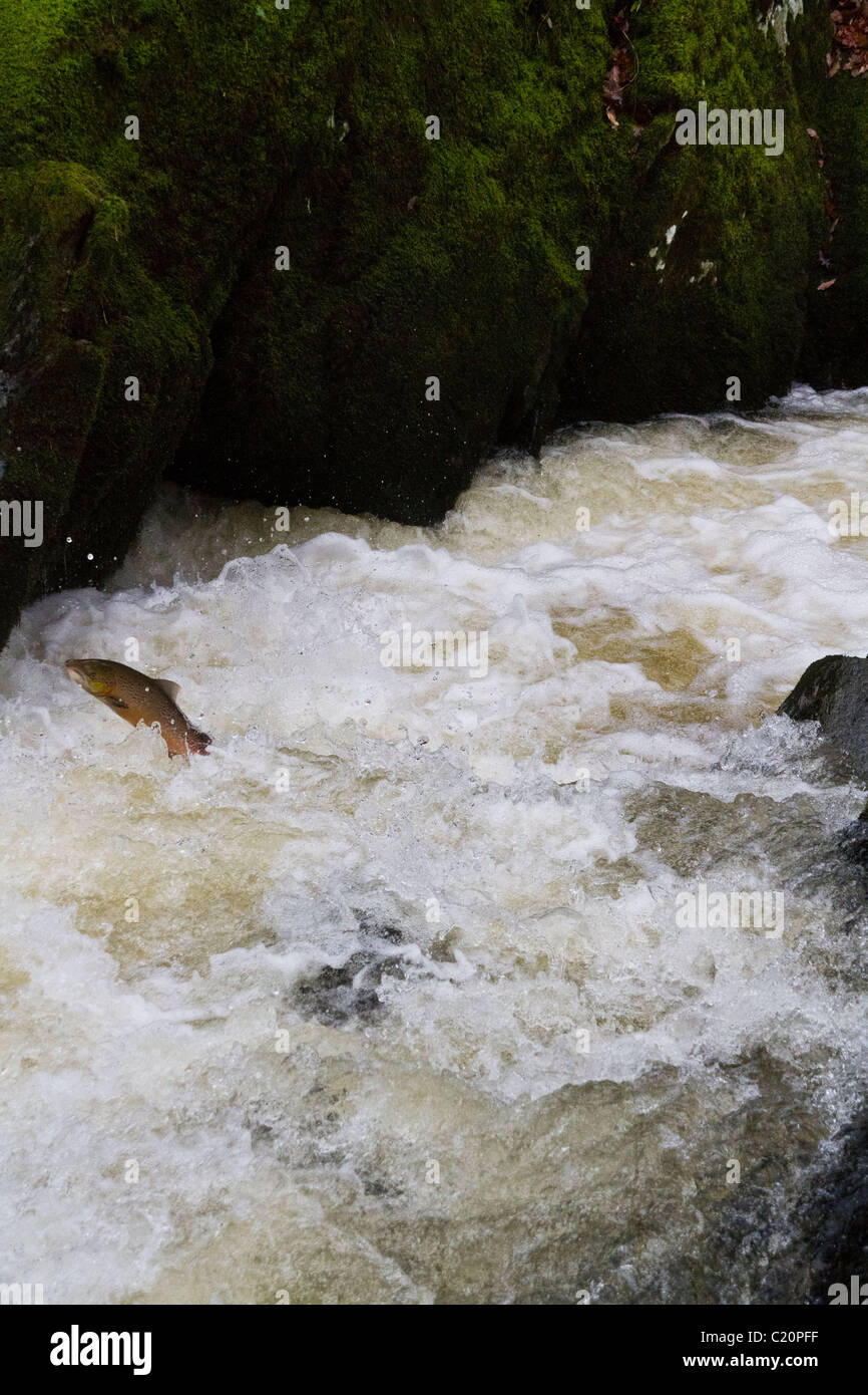 Leaping Salmon, Gilfach Wildlife Reserve, Powys, Mid Wales, UK Stock Photo