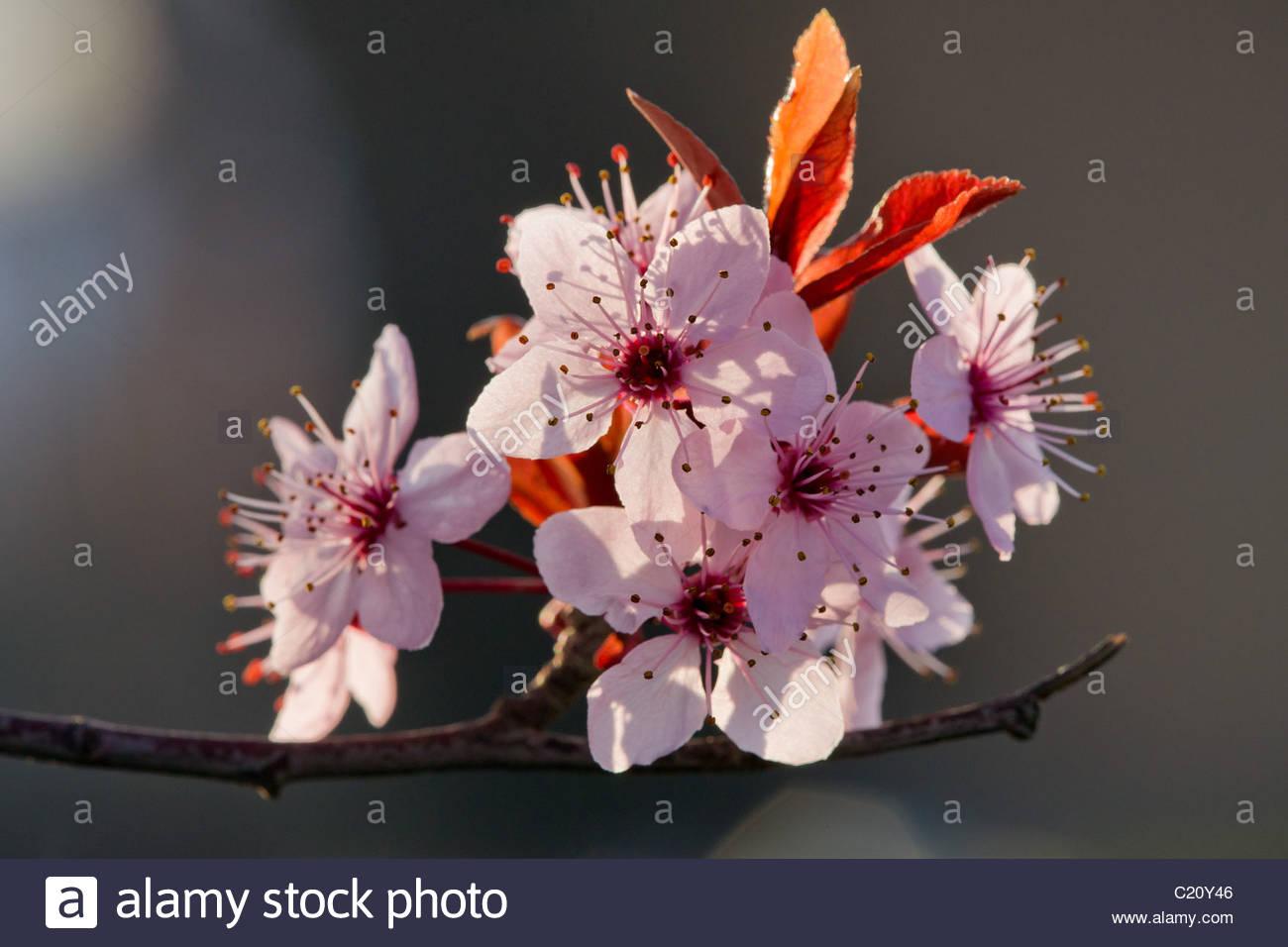 prunus cerasifera pissardii - cherry plum or myrobalan plum - Stock Image