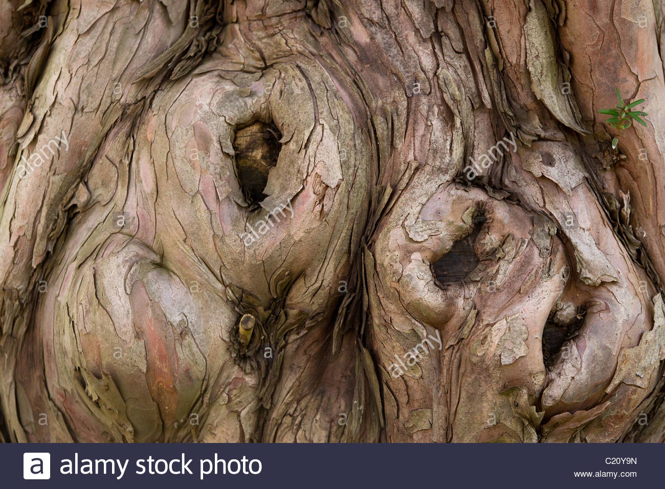 Large yew - Taxus baccata - Stock Image
