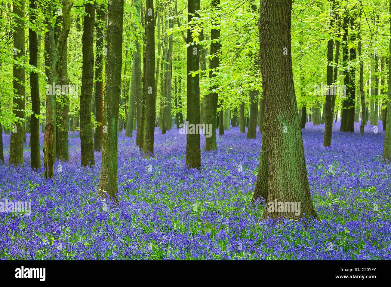 Bluebells(Hyacinthoides non-script)  in beech tree (Fagus sylvatica) wood, Hertfordshire, England, UK Stock Photo