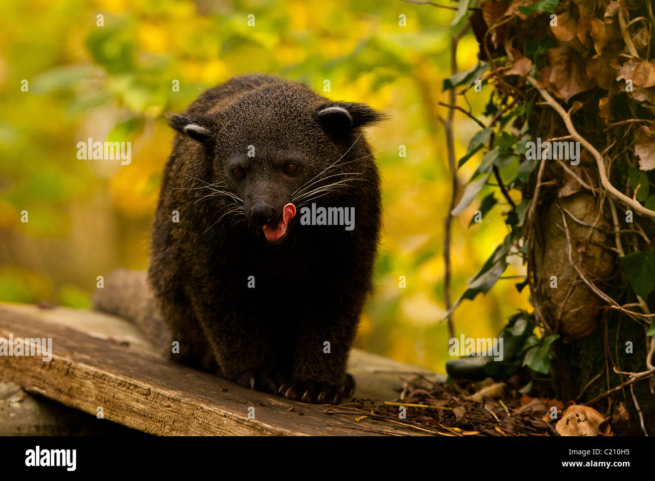 Binturong/Bear Cat (Arctictis binturong) Sitting near Tree - Stock Image