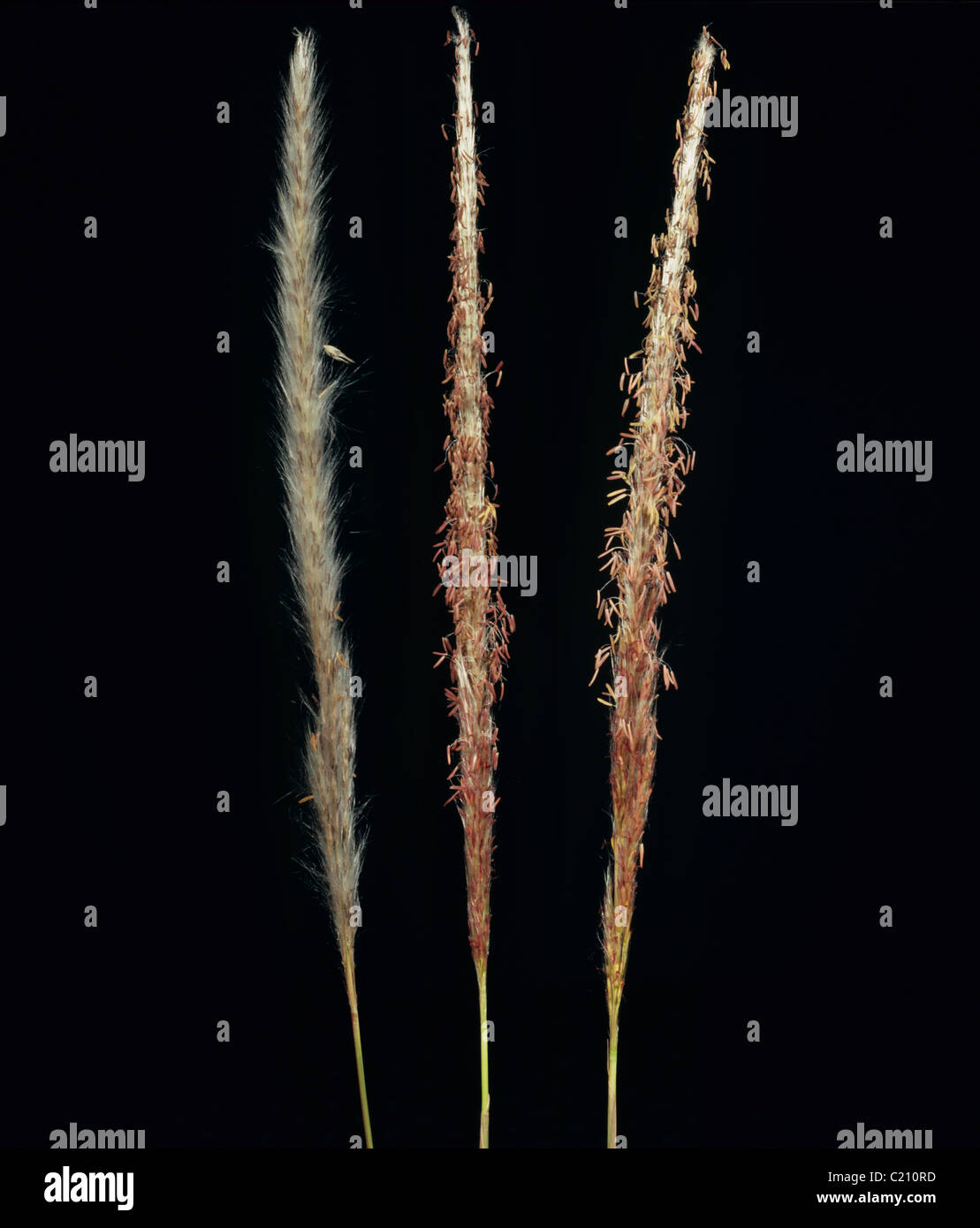 Cogongrass or lalang Imperata cylindrica flower spikes - Stock Image