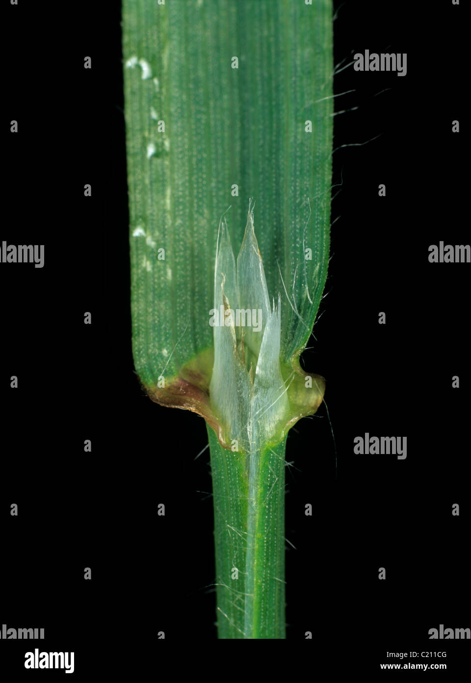 Giant brome Bromus diandrus leaf ligule - Stock Image