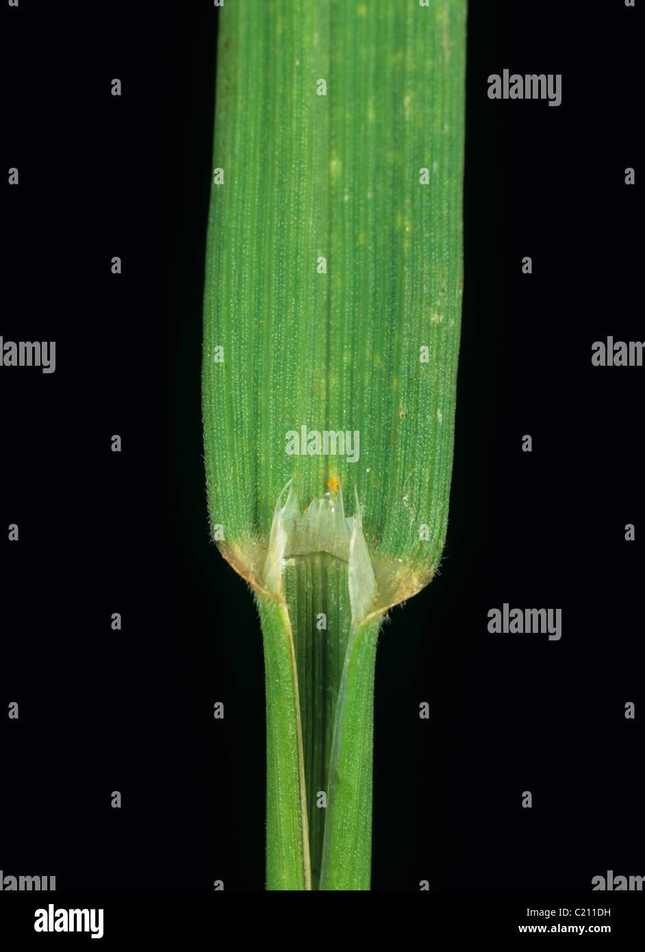 Upright brome Bromus erectus grass leaf ligule - Stock Image