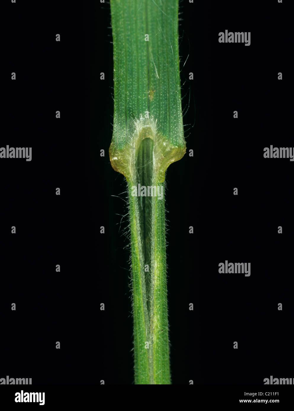 Soft brome Bromus mollis grass leaf ligule - Stock Image