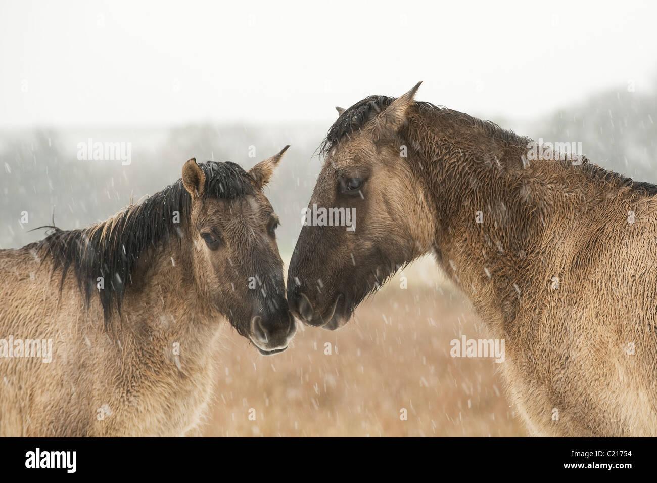 Konik horse (Equus caballus). Ham Fen Nature Reserve, Kent, UK Stock Photo