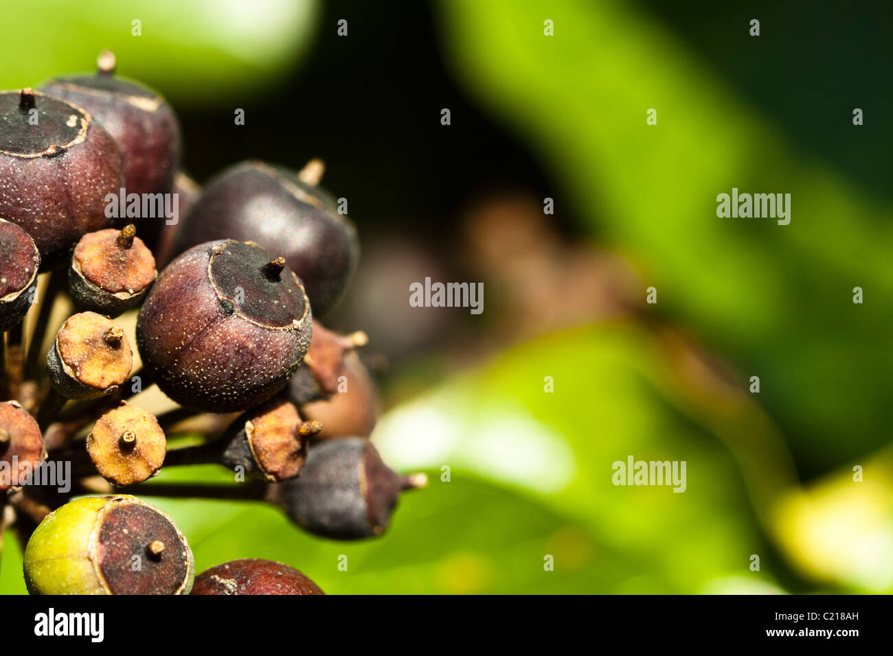Berries on common or English Ivy (Hedera helix) Stock Photo