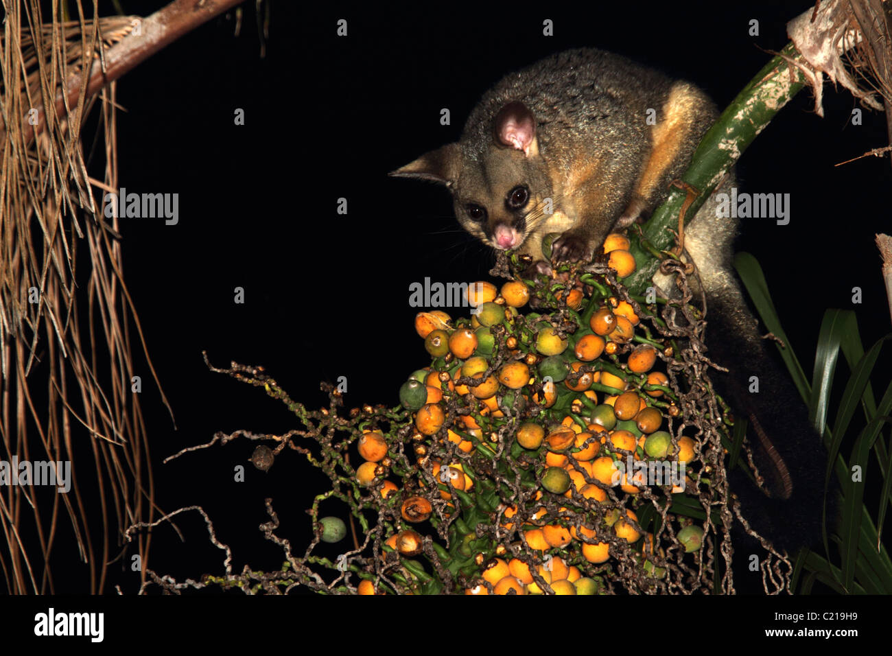 Common brushtail possum eating palm fruit Stock Photo