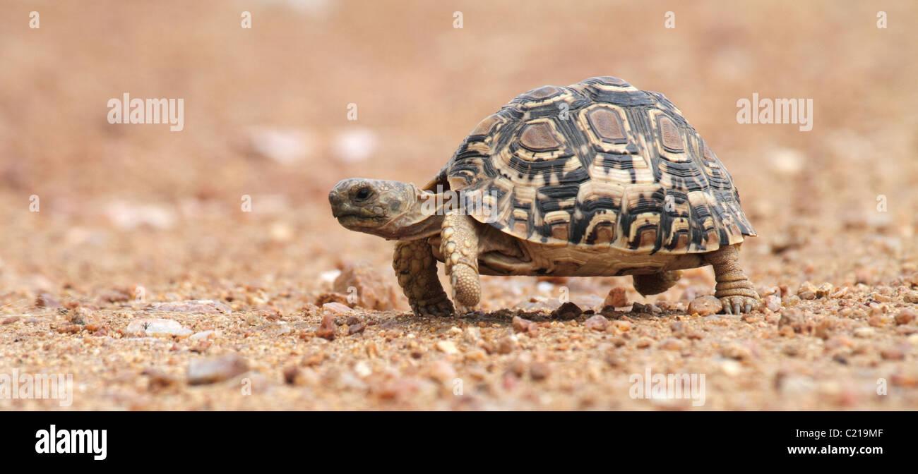African spur tortoise walking - Stock Image