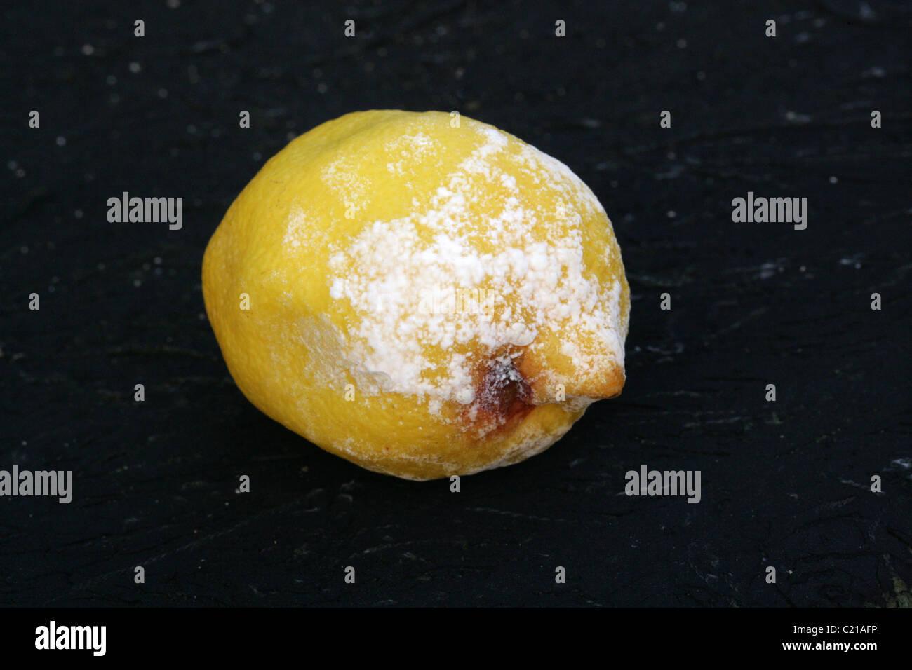 Lemon Citrus Fruit with Mould, Penicillium digitatum, Trichocomaceae, Eurotiales, Fungi. Syn. Monilia digitata, - Stock Image