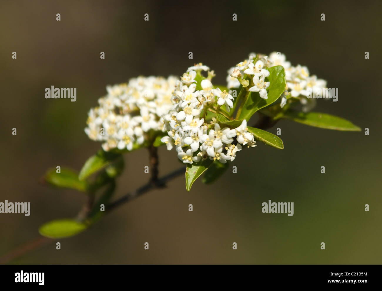 Viburnum at Raulston Arboretum, North Carolina State University, Raleigh, NC, USA Stock Photo