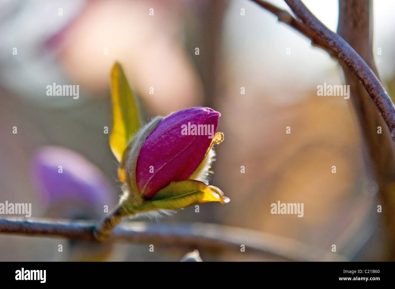 Magnolia blossom, at Raulston Arboretum, North Carolina State University, Raleigh, NC, USA Stock Photo