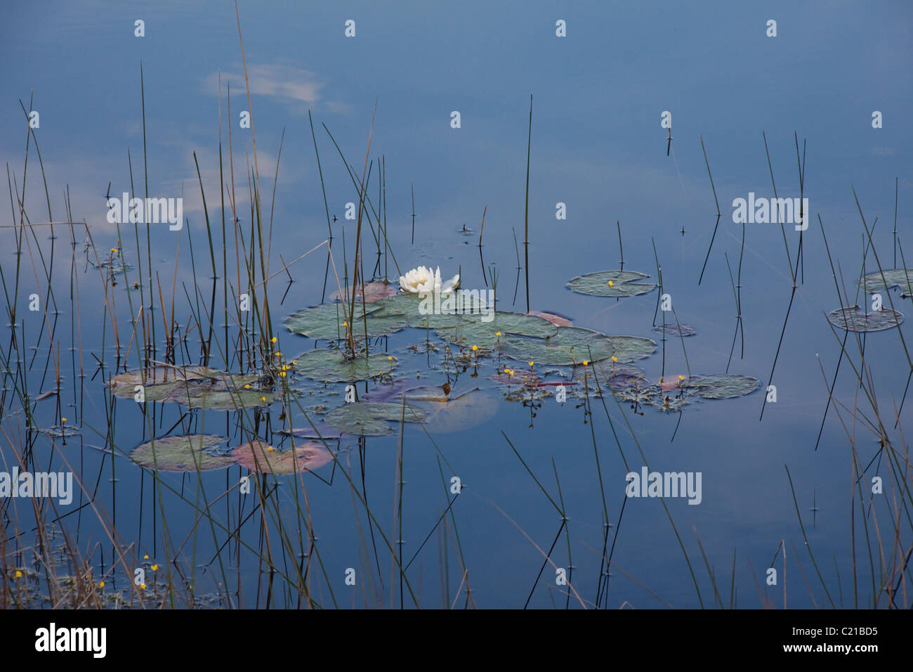 Water Lily Pad Grass Stock Photos & Water Lily Pad Grass Stock ...