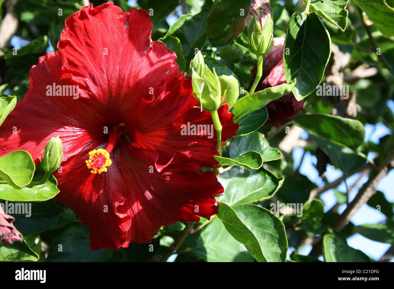 Deep Red Hibiscus In High Summer New Zealand Stock Photo 35682628
