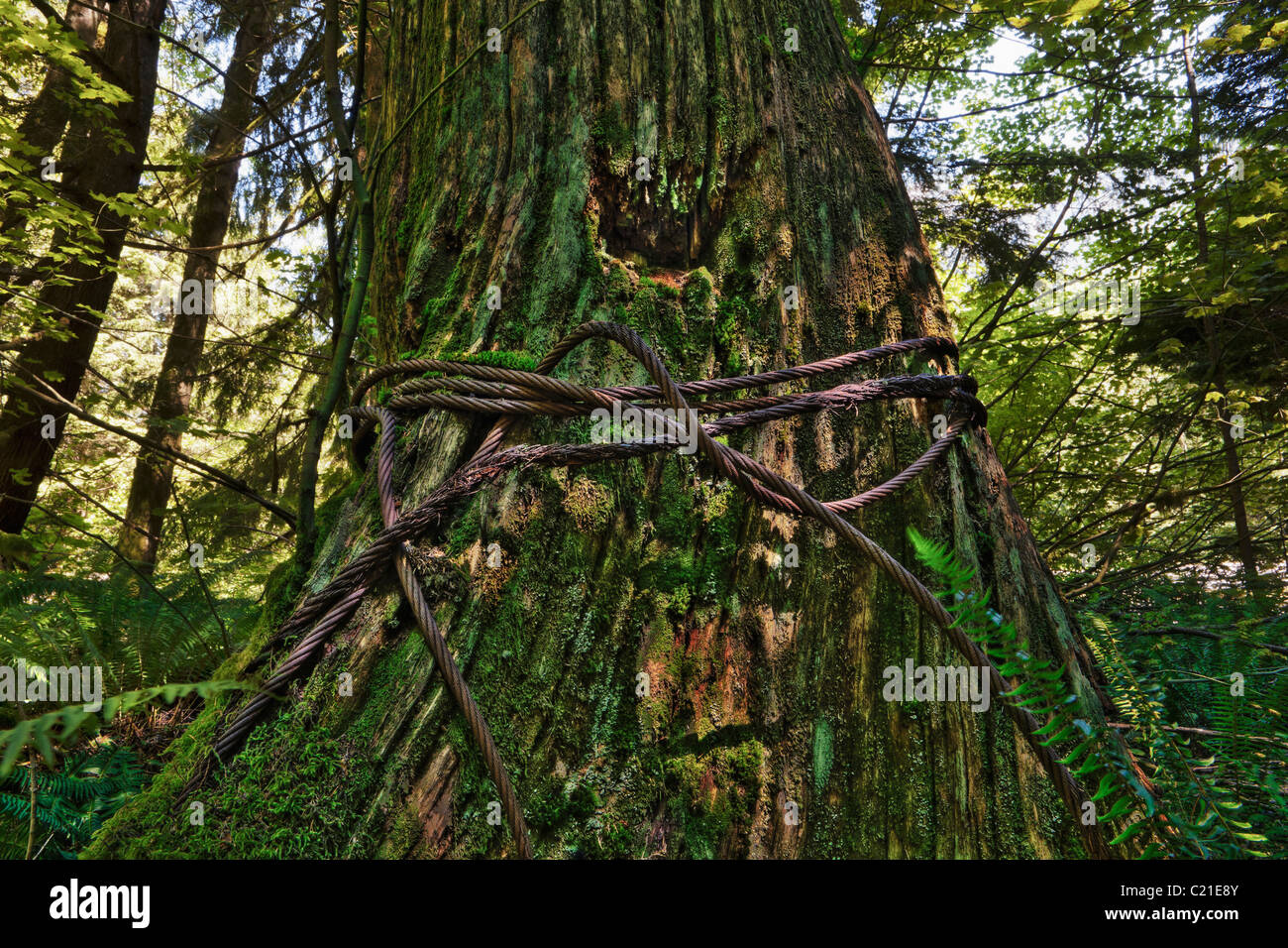 An old growth tree stump bound up by a rusting steel cable. - Stock Image