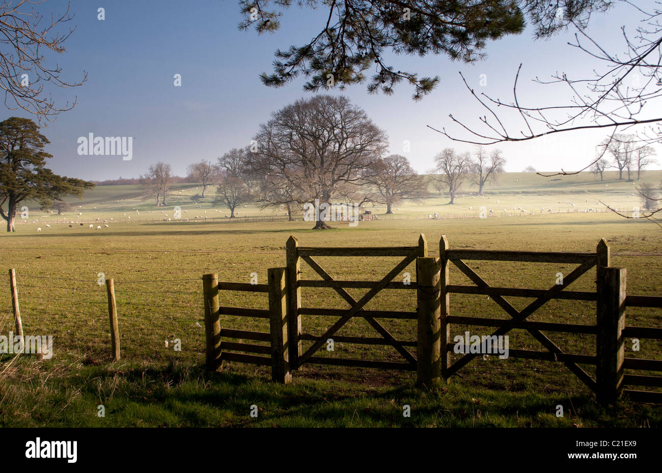 A pastoral scene of sheep grazing in a field. - Stock Image