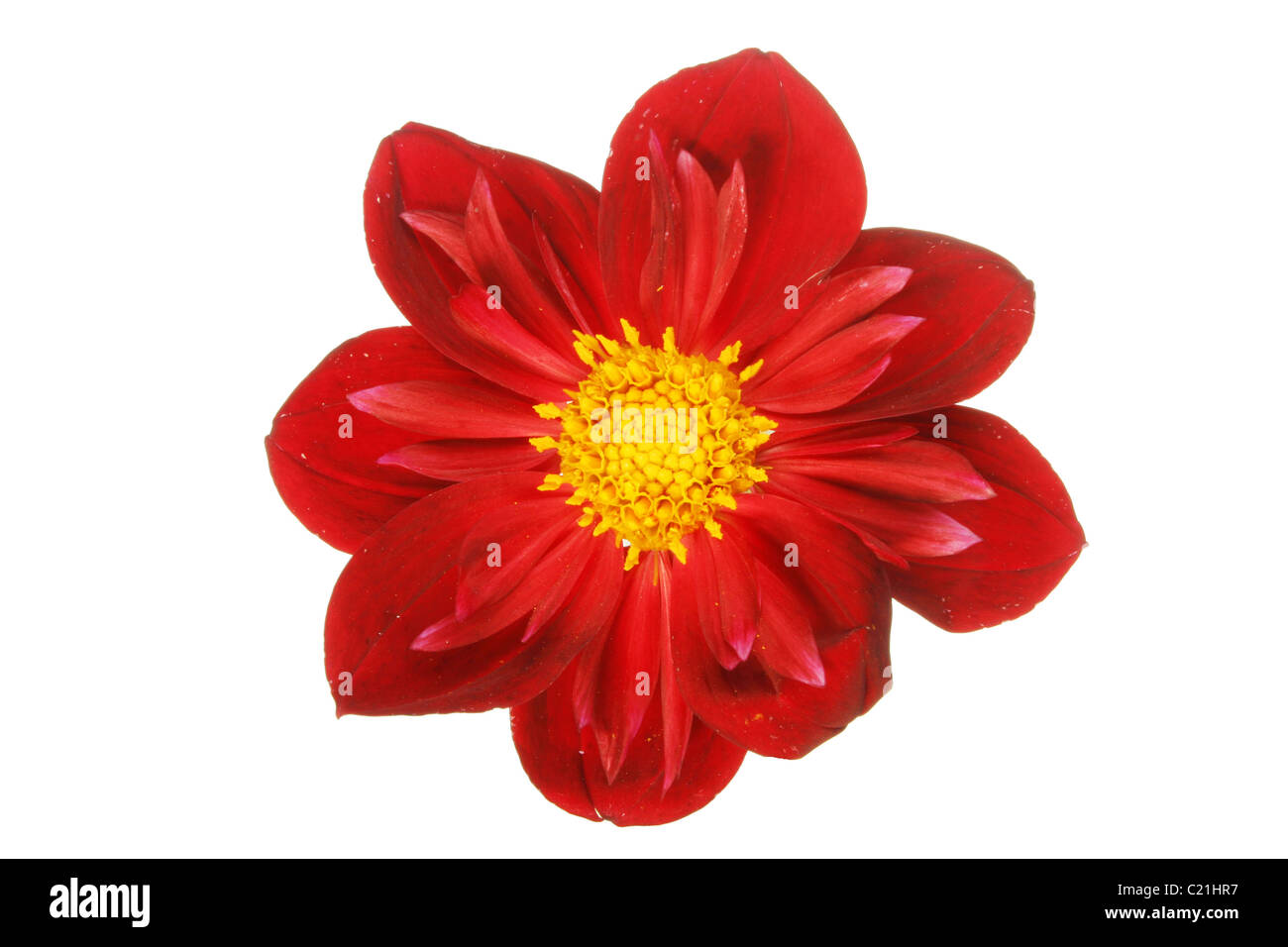 Yellow And Red Dahlia Cut Out Stock Images Pictures Alamy