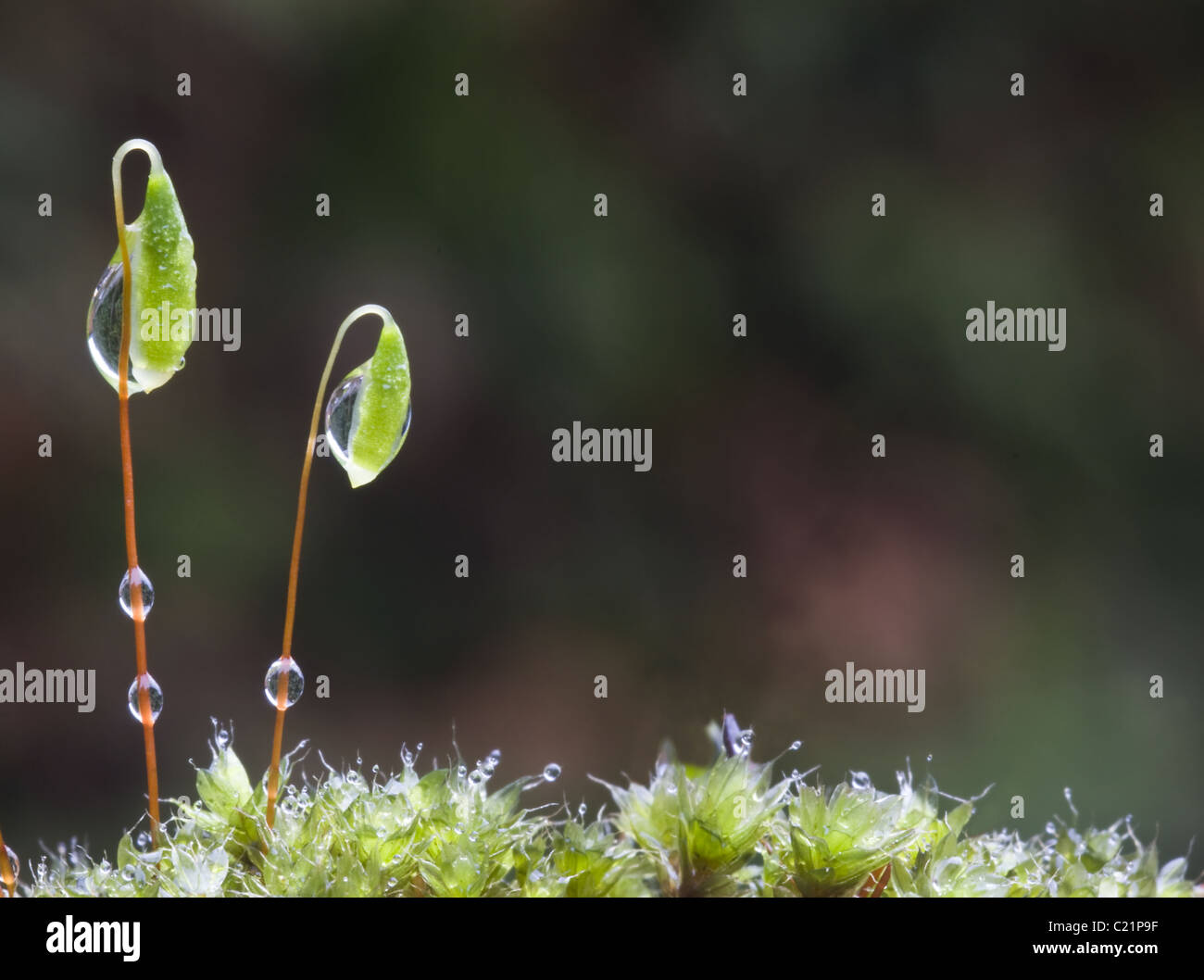 Bryum capilliare, a common cushion forming moss often found growing on walls and rocks. Shown here in early spring. - Stock Image