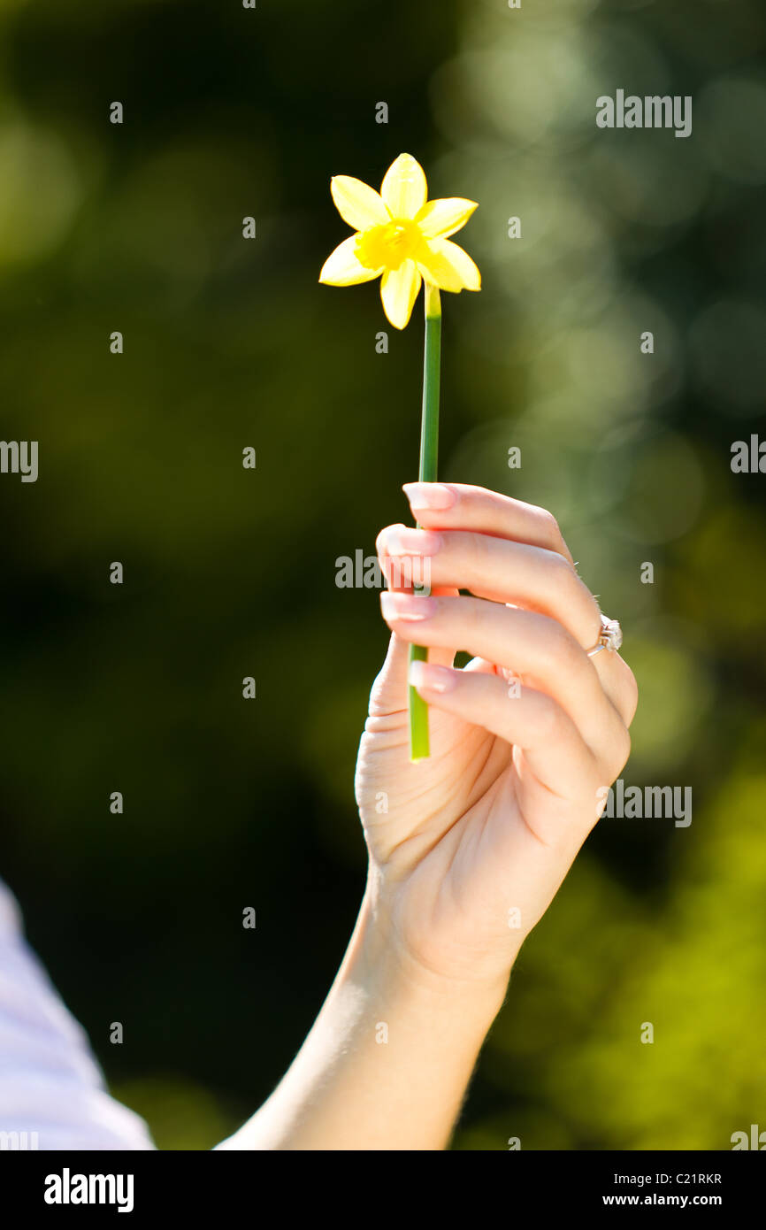 Girl holding Daffodil flower - Stock Image