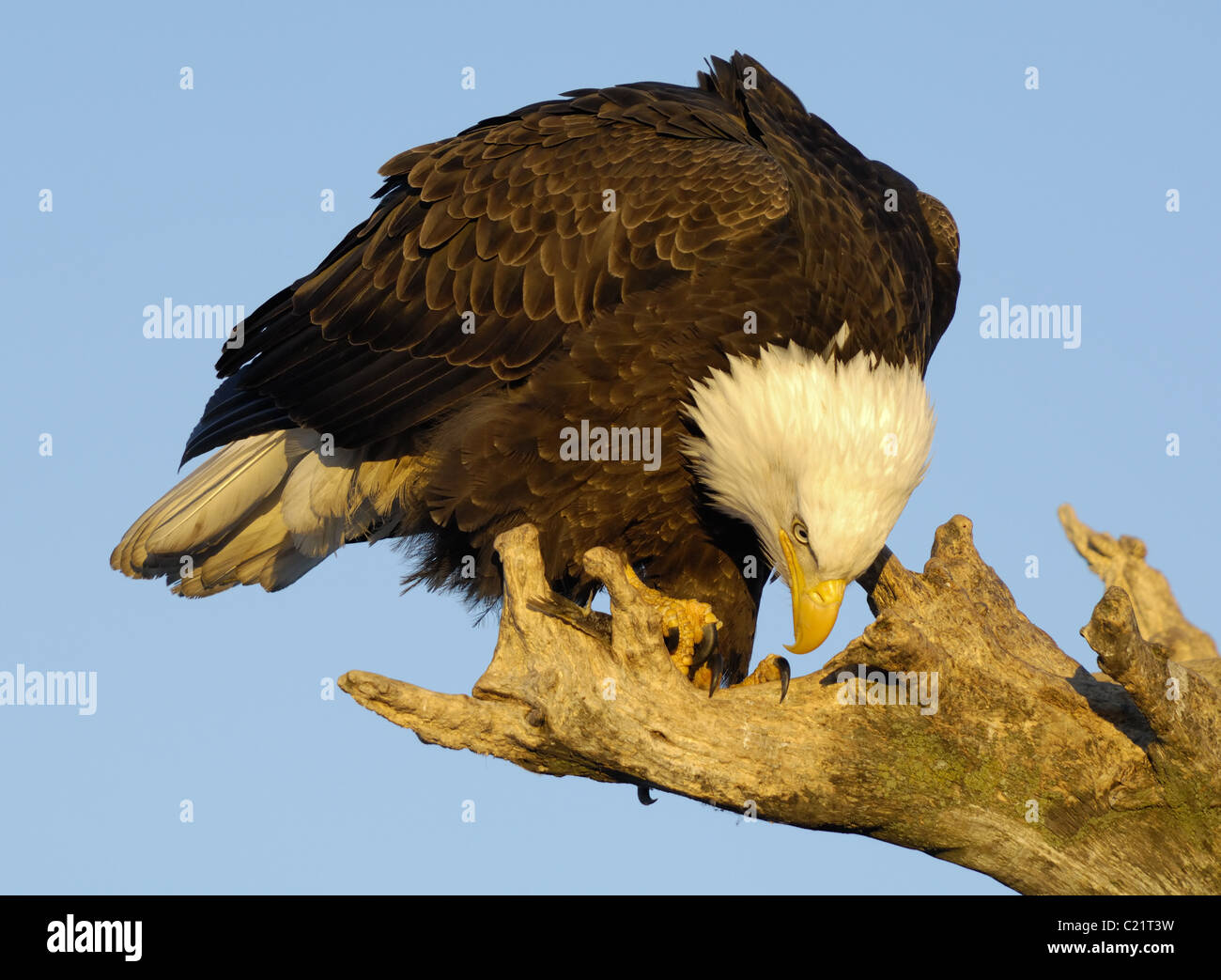 Bald Eagle sitting on tree trunk at the beach of Kachemak Bay near Homer at the Homer Spit in Alaska eating on fish Stock Photo