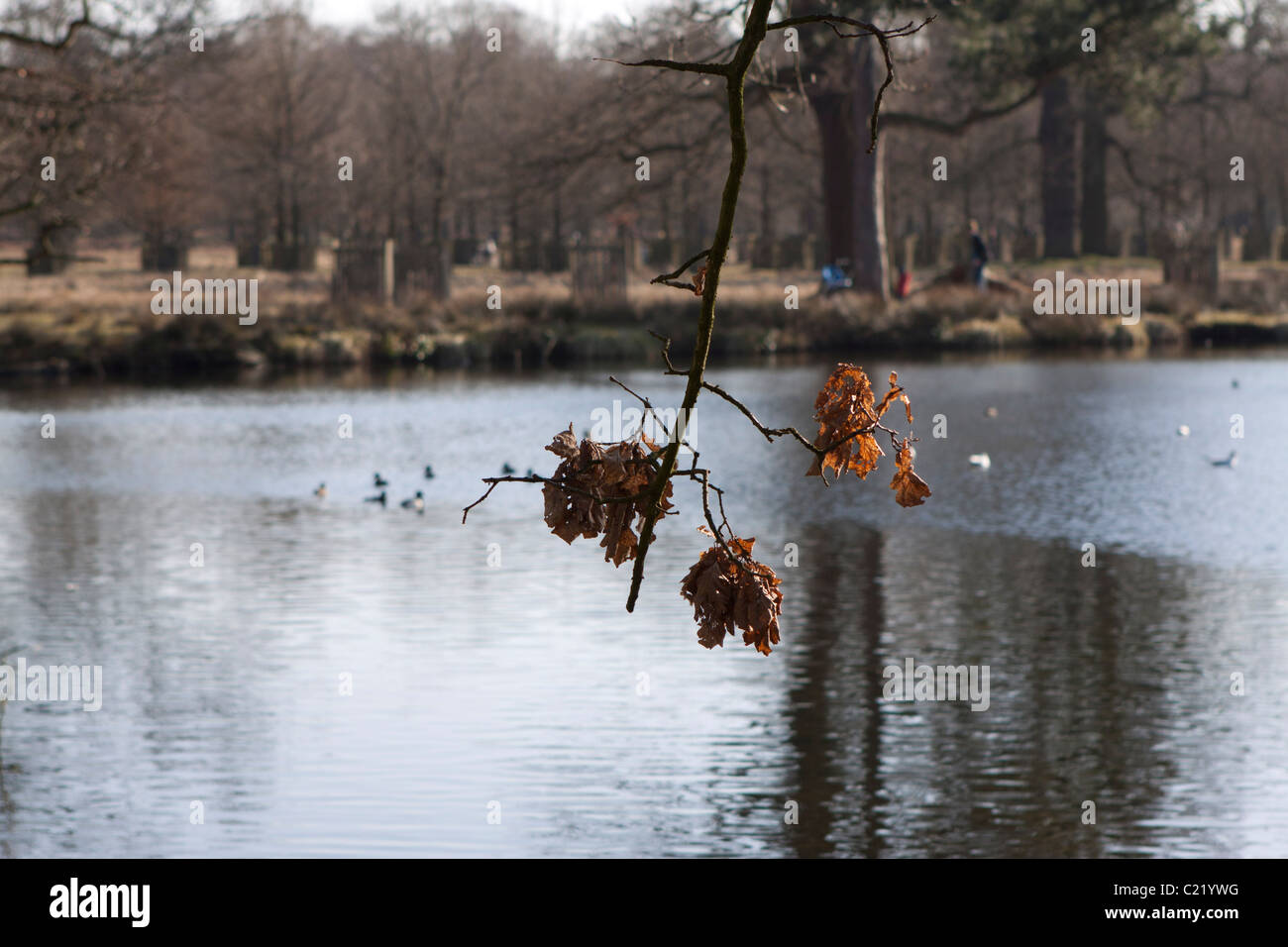 Wilting Leaves at Dunham Massey in Cheshire, England. - Stock Image