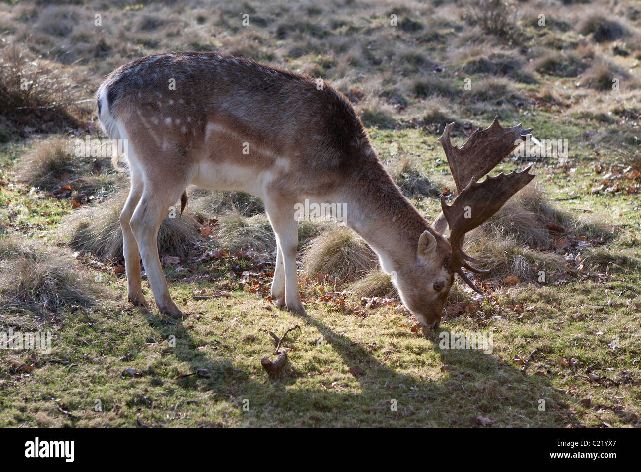 Deer at Dunham Massey in Cheshire, England. © StockPix.eu - Stock Image