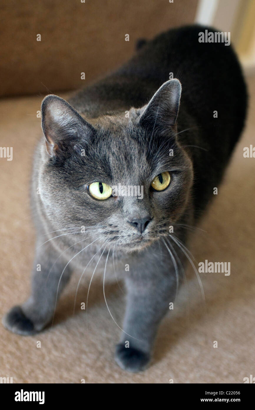 Tilly the Burmese domestic Cat© StockPix.eu, tel 01312083088 mobile 07792083201 email desk@thescribe.eu - Stock Image
