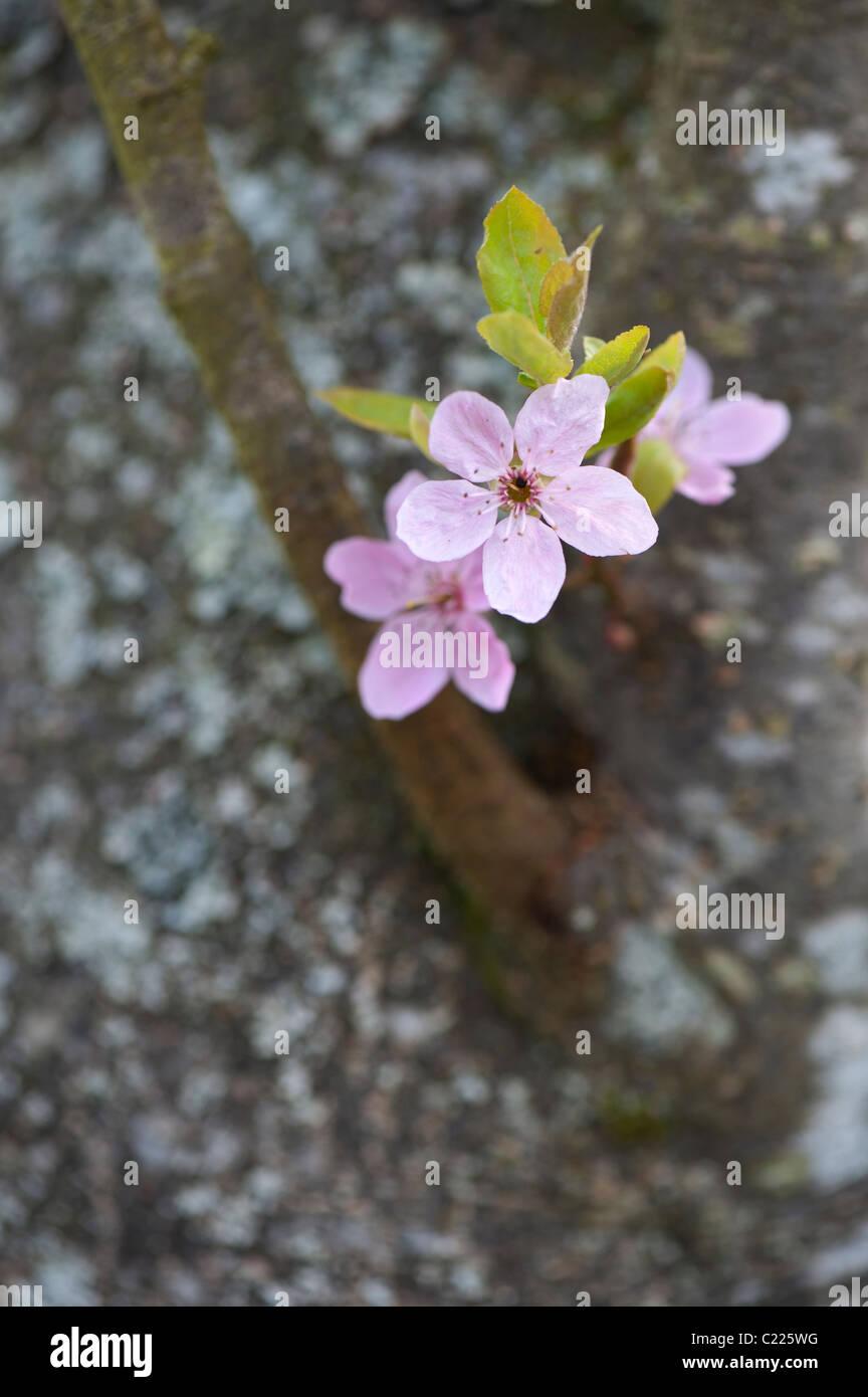 Prunus cedrasifera Lindsayae. Cherry plum. Cherry tree blossom - Stock Image