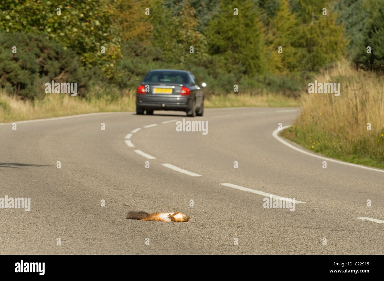 Red Squirrel (Sciurus vulgaris) killed on road, Black Isle, Scotland. - Stock Image