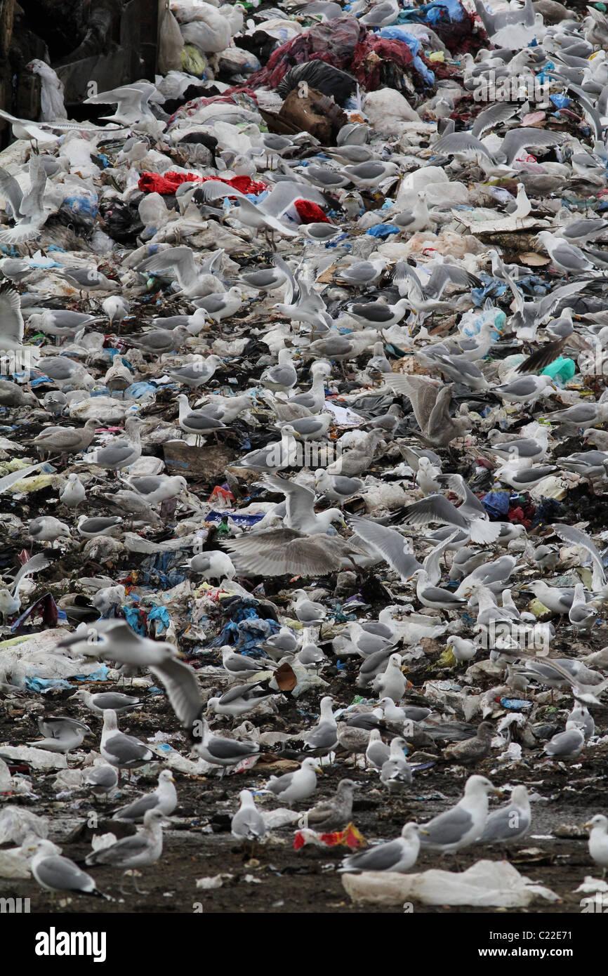 bulldozer landfill gulls Palo Alto Baylands Park Calfornia - Stock Image