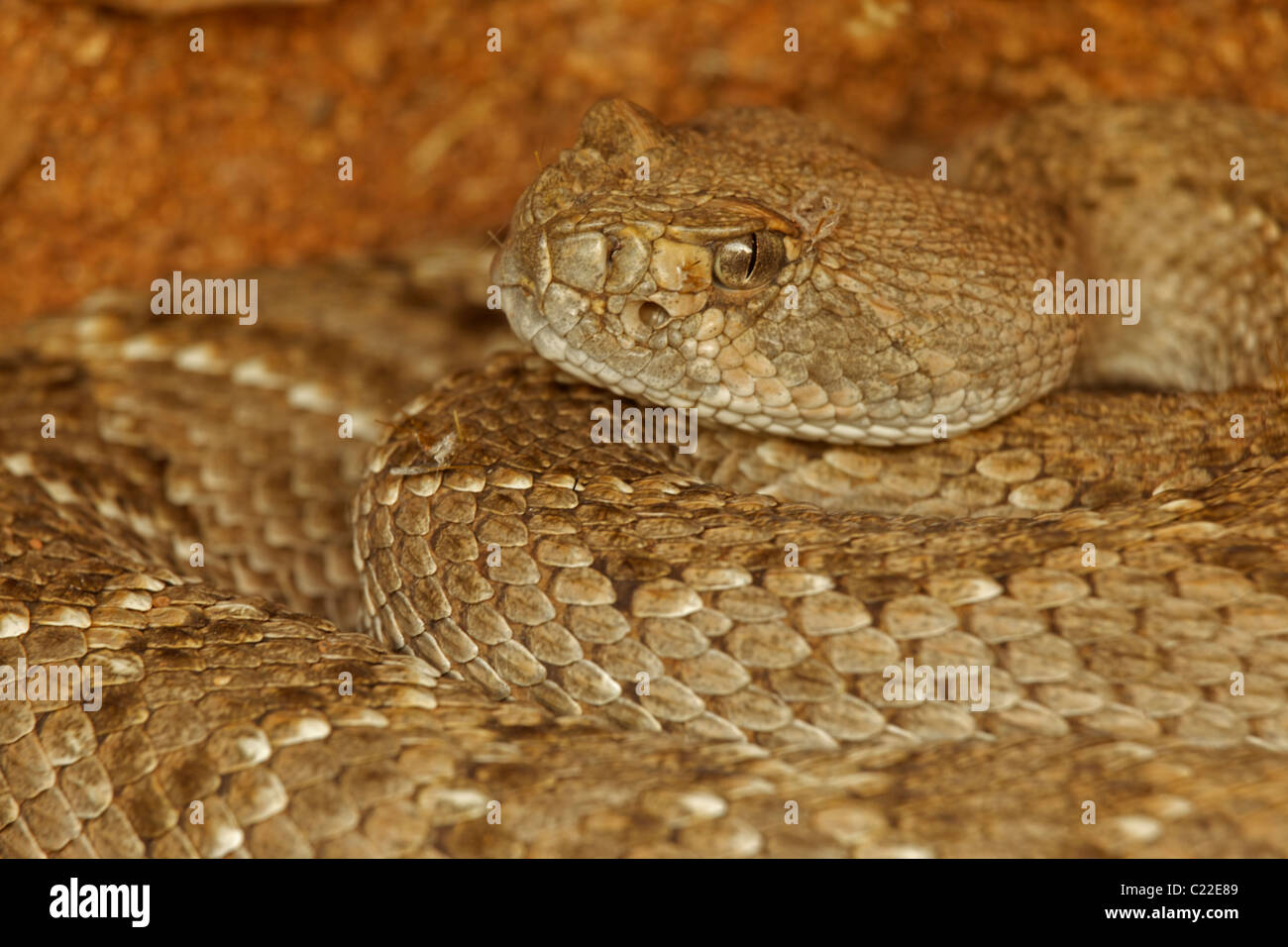 Western Diamond-backed Rattlesnake(s) (Crotalus atrox) -Arizona – USA - Sonoran Desert - Emerging from winter hibernation Stock Photo