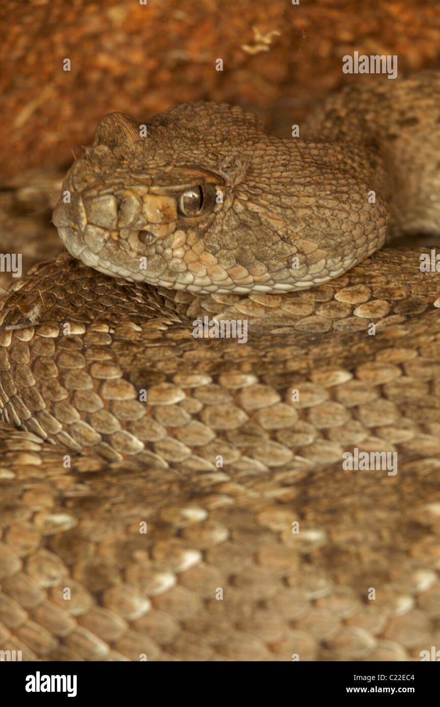 Western Diamond-backed Rattlesnake(s) (Crotalus atrox) -Arizona – USA - Sonoran Desert - Emerging from winter hibernation Stock Photo