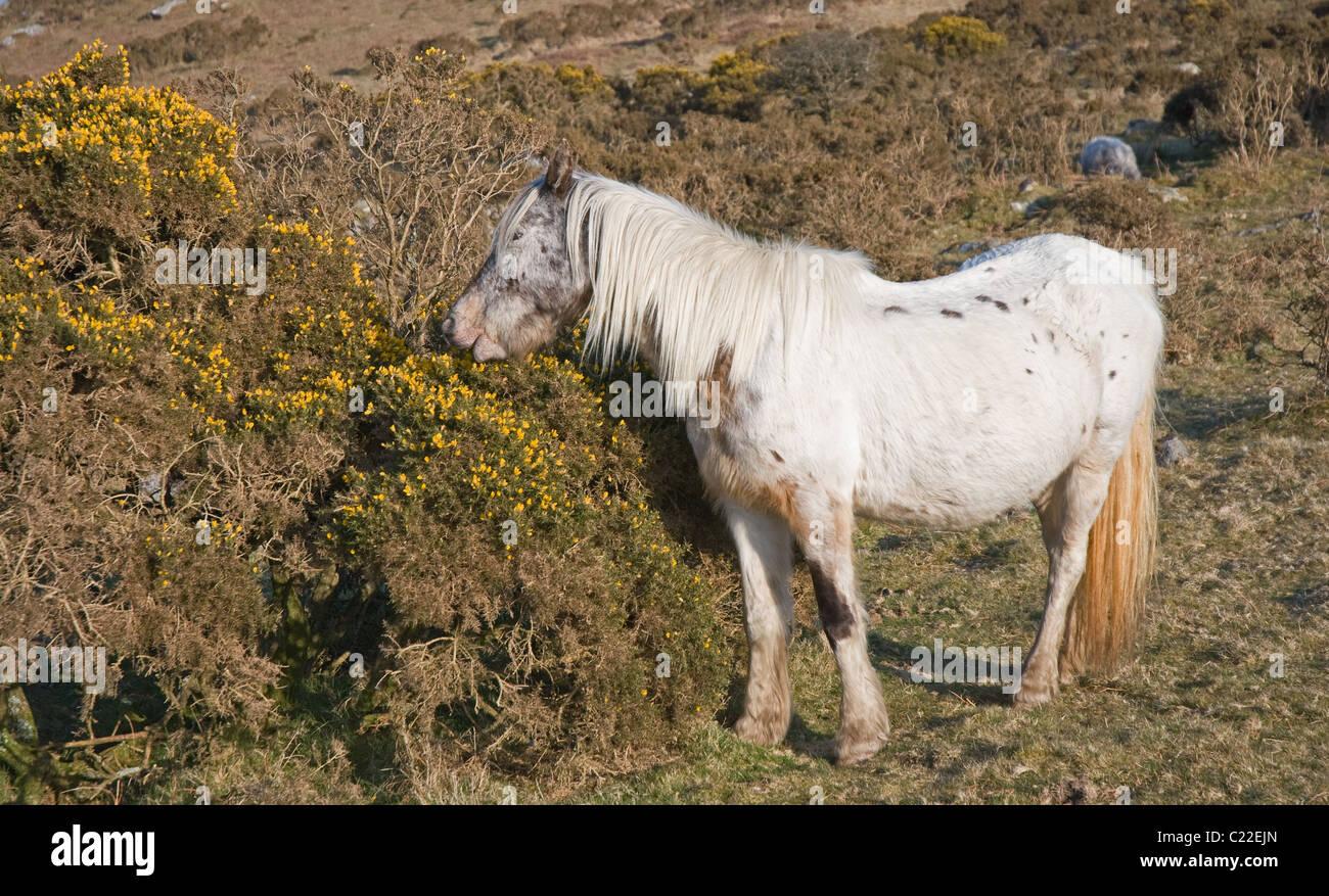 Grey wild pony grazing on gorse flowers in evening sunlight Longstone Downs Bodmin Moor Henwood near Liskeard east - Stock Image