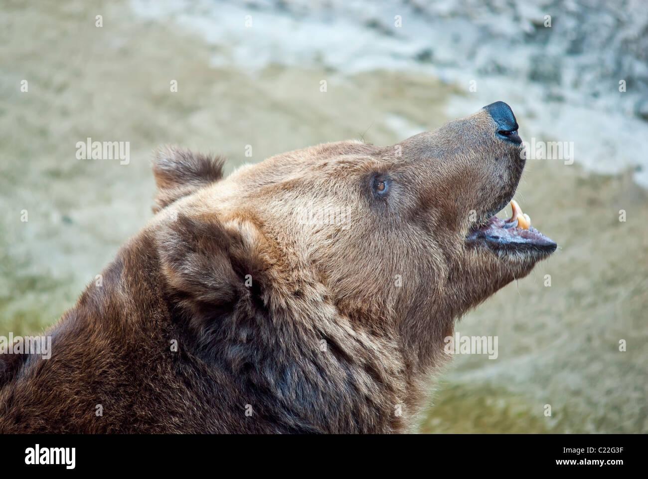 Brown bear roars - Stock Image