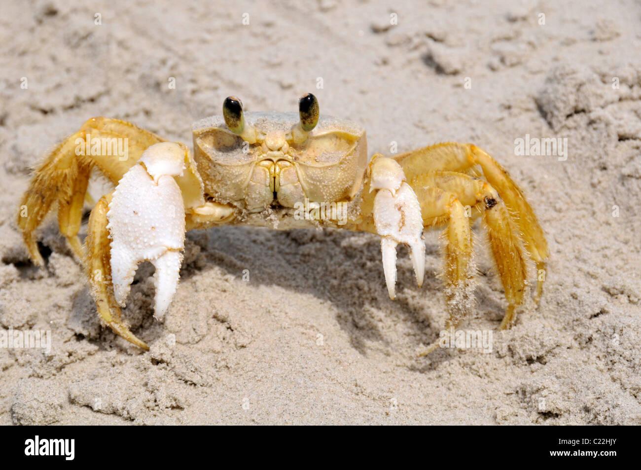Ghost crab, Ocypode quadrata, Mel Island, Paranagua, Parana, Brazil, South Atlantic - Stock Image