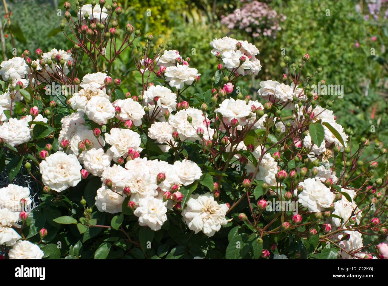 Rose Little White Pet Walled Garden Burton Agnes Hall Stock Photo