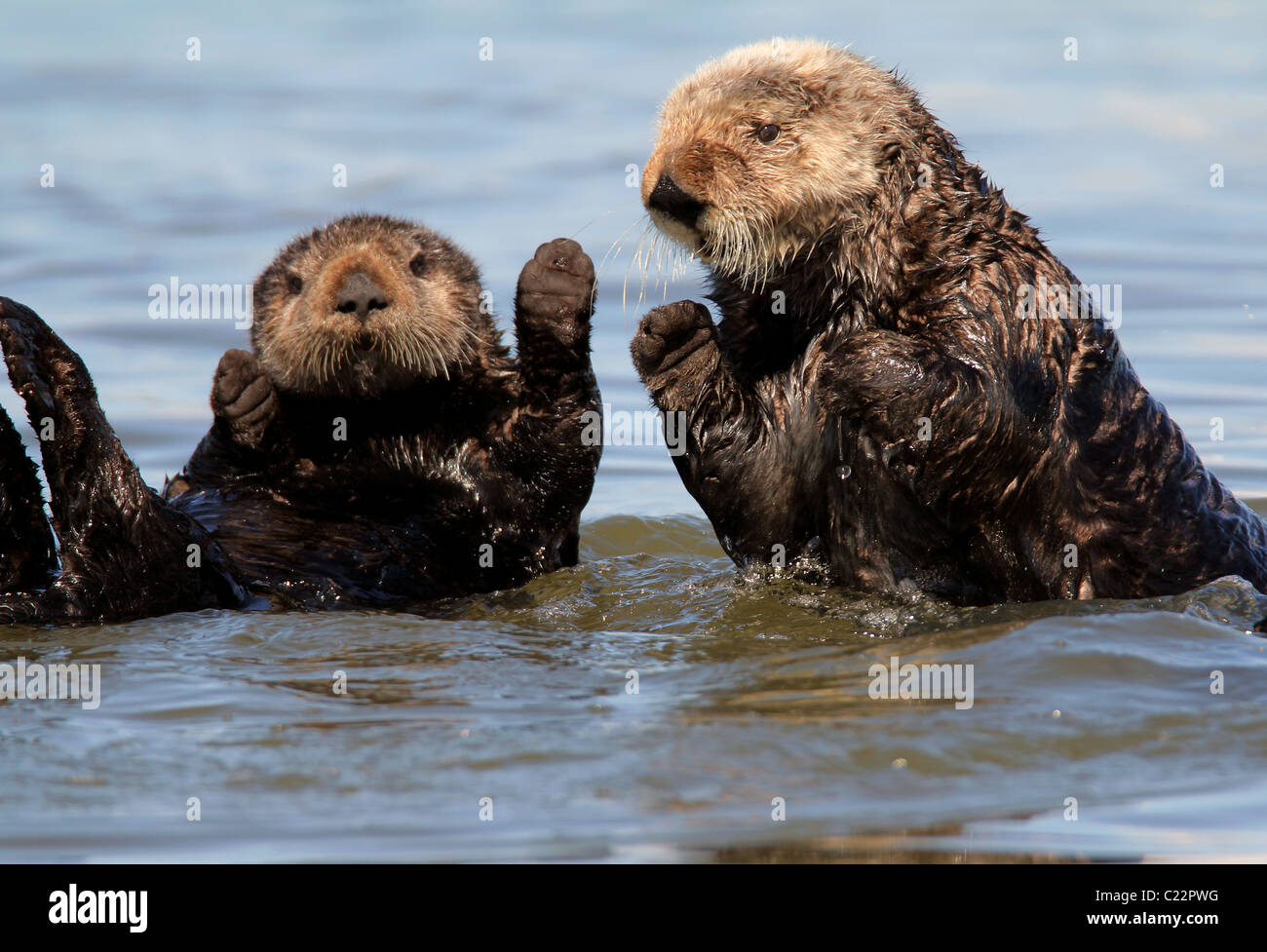 sea Otter playing Moss Landing Monterey Bay Elkhorn Slough National Estuarine Research Reserve - Stock Image