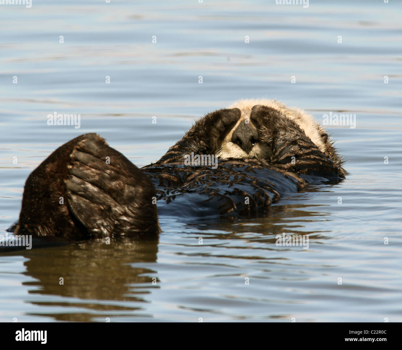 sea Otter sleeping Moss Landing Monterey Bay Elkhorn Slough National Estuarine Research Reserve - Stock Image
