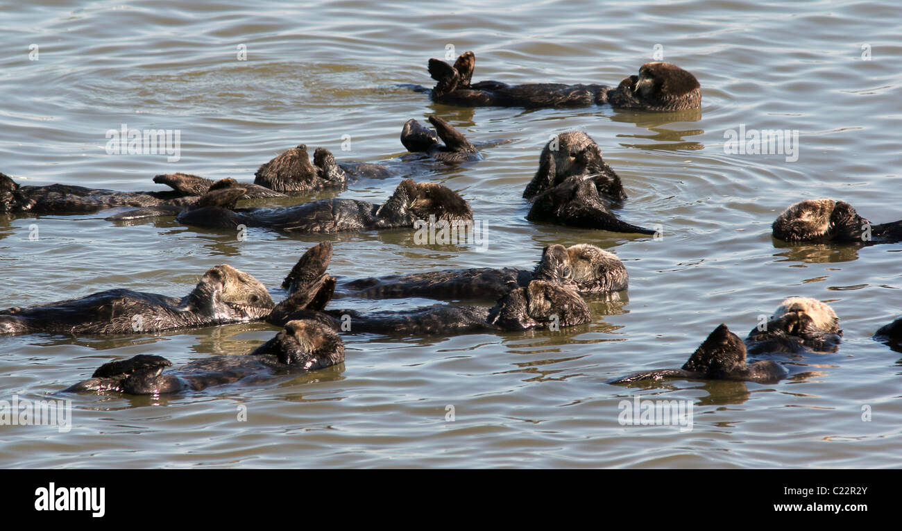 sea Otter Moss Landing Monterey Bay Elkhorn Slough National Estuarine Research Reserve - Stock Image
