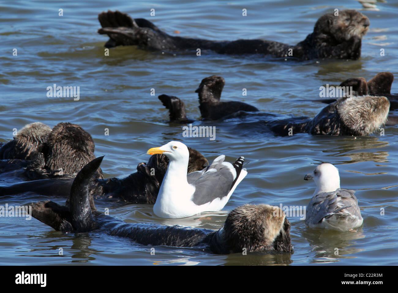 sea Otter gull Moss Landing Monterey Bay Elkhorn Slough National Estuarine Research Reserve - Stock Image