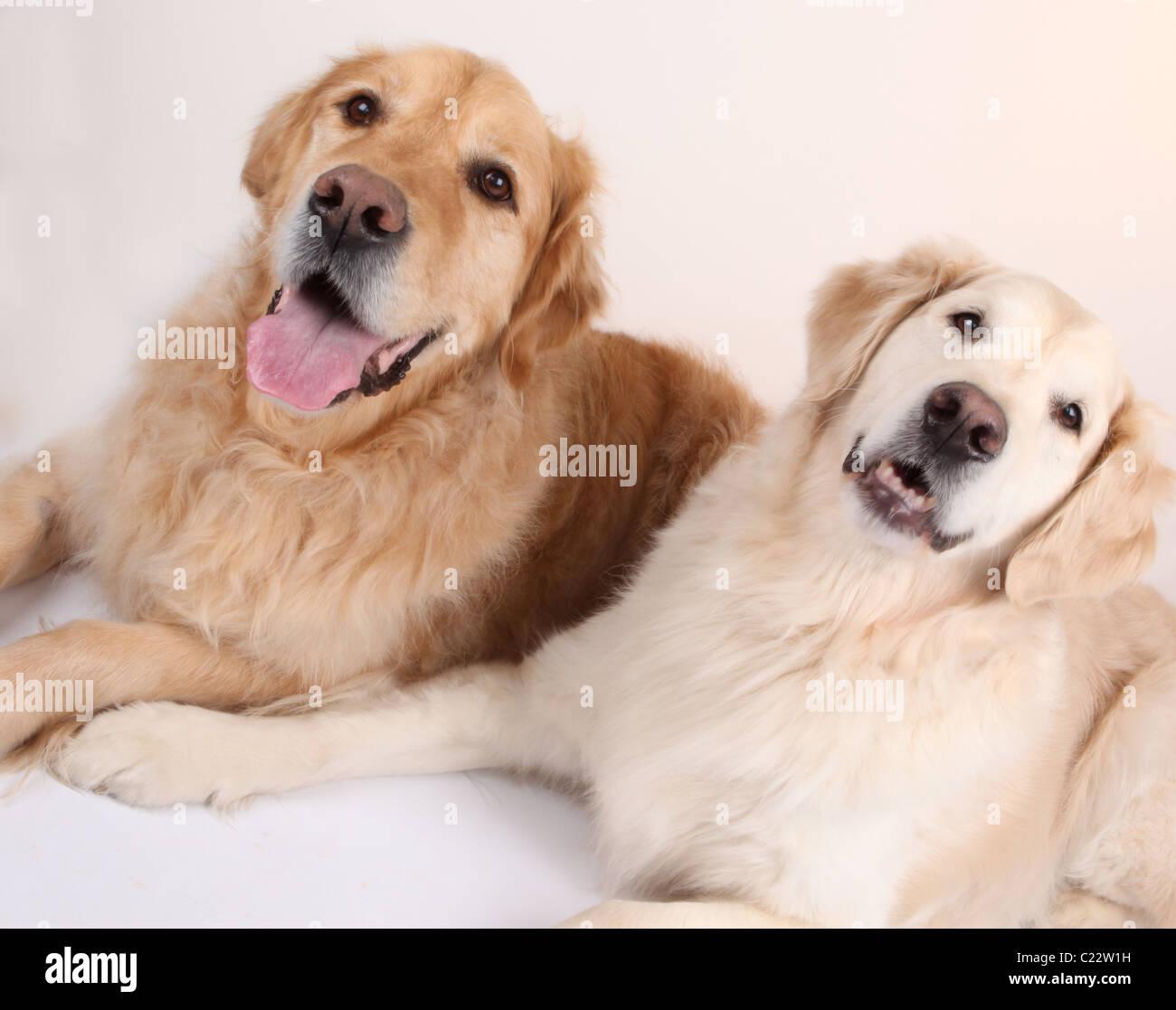 Best Friends two Golden Retrievers dogs. - Stock Image