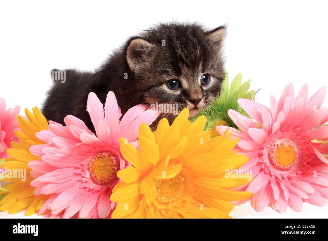 Little four week old black and beige striped kitten with colorful daisies on a white background - Stock Image