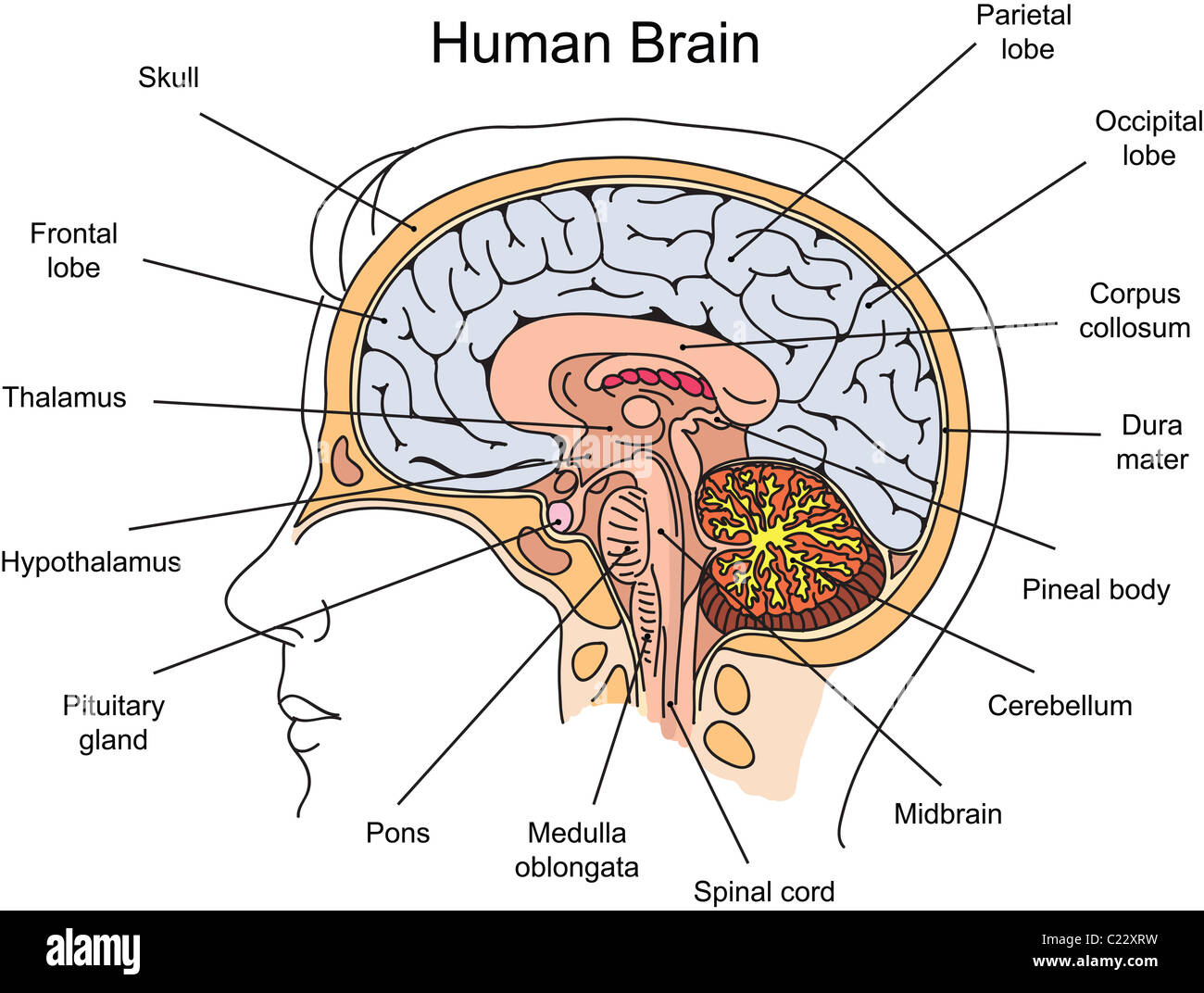 Structure Of Human Brain Illustration Stock Photo 35715005 Alamy