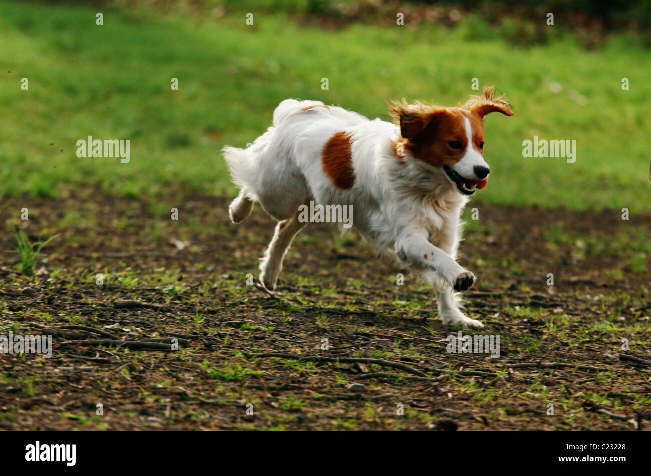running dog in the park - Stock Image
